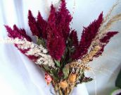 Cockscomb, Plume Plant, Feathered Amaranth (burgundy)