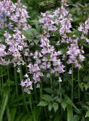 Spanish Bluebell, Wood Hyacinth (lilac)
