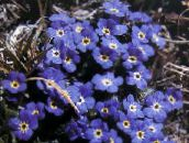 Arctic Forget-me-not, Alpine forget-me-not (blue)