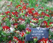 Kidney Vetch, Lady's Fingers (red)