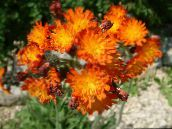 Yellow hawkweed, Fox and Cubs, Orange Hawkweed, Devil's Paintbrush, Grim-the-Collier, Red Daisy (orange)