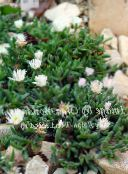 Hardy Ice Plant (white)