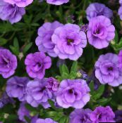 Calibrachoa, Million Bells (lilas)