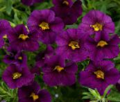 Calibrachoa, Million Bells (pourpre)