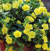 Calibrachoa, Million Bells (jaune)