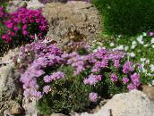 Garden Flowers Sea thrift, Armeria  juniperifolia pink