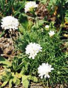 Garden Flowers Sea thrift, Armeria  juniperifolia white