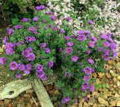 New England aster (lilac)