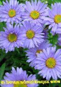 Garden Flowers Alpine Aster, Aster alpinus light blue