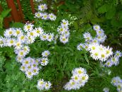 Garden Flowers Alpine Aster, Aster alpinus white