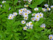 Alpine Aster (lilac)