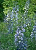 False Indigo (bleu ciel)