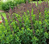 False Indigo (vineux)