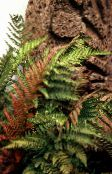 Male fern, Buckler fern, Autumn Fern  (red)