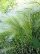 Foxtail barley, Squirrel-Tail Cereals (silvery)