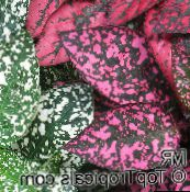 Polka dot plant, Freckle Face Leafy Ornamentals (multicolor)