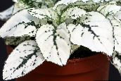 Polka dot plant, Freckle Face Leafy Ornamentals (white)