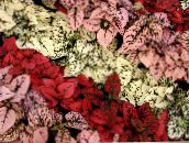 Polka dot plant, Freckle Face Leafy Ornamentals (red)