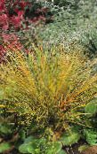 Pheasant's Tail Grass, Feather Grass, New Zealand wind grass Cereals (red)