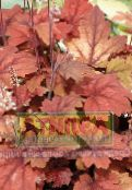 Heucherella, Foamy Bells Leafy Ornamentals (red)