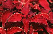 Coleus, Flame Nettle, Painted Nettle Leafy Ornamentals (red)