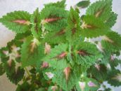 Coleus, Flame Nettle, Painted Nettle Leafy Ornamentals (green)