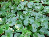 Asarabacca, European Wild Ginger Leafy Ornamentals (green)