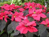 Poinsettia, Noche Buena, , Christmas flower Leafy Ornamentals (red)