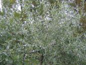 Pendulous willow-leaved pear, Weeping silver pear (silvery)