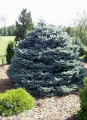 Colorado Blue Spruce (silvery)