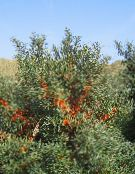Sea Buckthorn, Sea Berry (silvery)