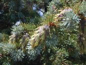 Douglas Fir, Oregon Pine, Red Fir, Yellow Fir, False Spruce (silvery)