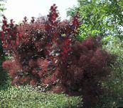 Smoketree (burgundy)
