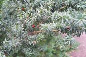 English yew, Canadian Yew, Ground Hemlock (silvery)