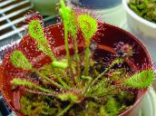 Drosera À Feuilles Rondes Herbeux (rouge)