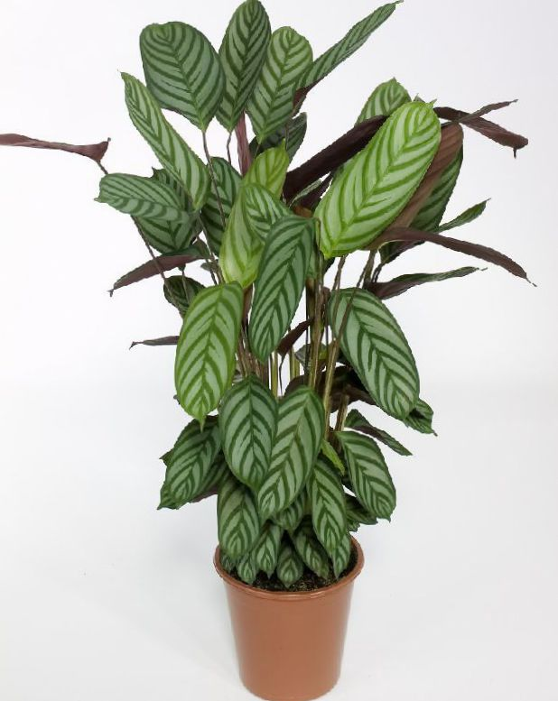 indendørs plante til skygge