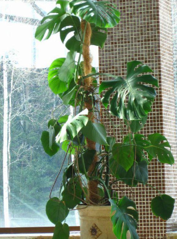 Le piante domestiche spaccatura foglia filodendro la liana for Faccende domestiche in inglese