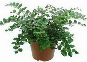 Indoor Plants Cliff Brake Button Fern Pellaea Growing And Care