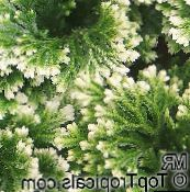 Selaginella Herbáceas (moteado)