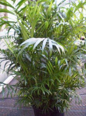 foto indend rs planter bambus palme chamaedorea gr n. Black Bedroom Furniture Sets. Home Design Ideas