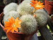 Couronne Cactus  (orange)