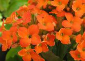 Kalanchoe Les Plantes Succulents (orange)