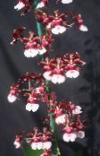 Dancing Lady Orchid, Cedros Bee, Leopard Orchid Herbaceous Plant (claret)