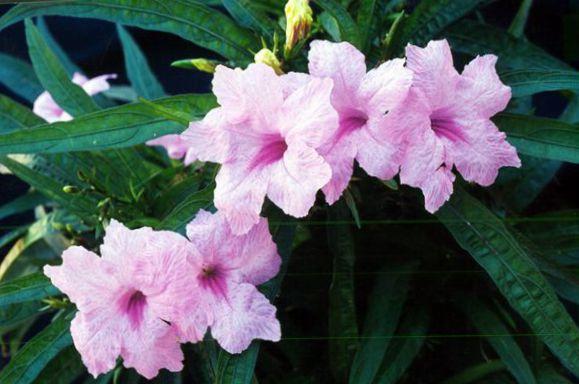 Foto flores de sal n planta de mono ruellia roja colgantes lila - Planta de salon ...
