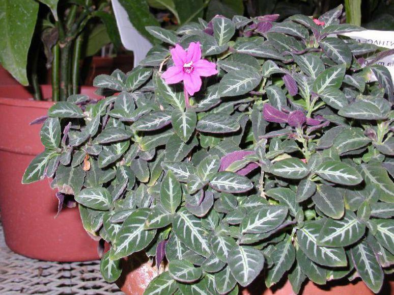 Foto flores de sal n planta de mono ruellia roja colgantes rosa - Planta de salon ...