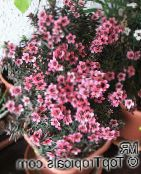 New Zealand tea tree Shrub (pink)