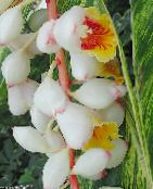 Red Ginger, Shell Ginger, Indian Ginger Herbaceous Plant (white)