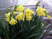 Daffodils, Daffy Down Dilly Herbaceous Plant (yellow)