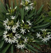 Sea Daffodil, Sea Lily, Sand Lily Herbaceous Plant (white)