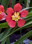Sparaxis Herbaceous Plant (red)